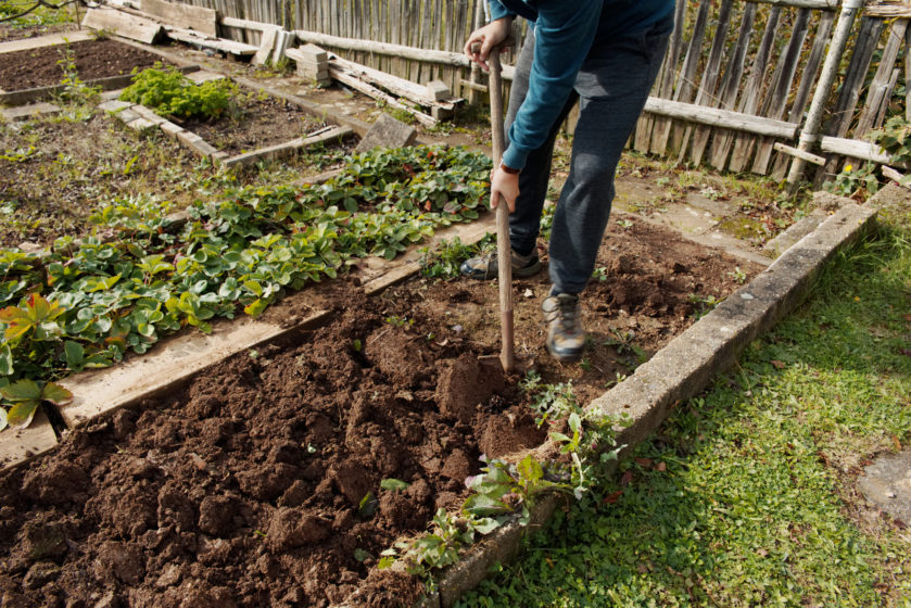 Man digging up vegetables on a garden, his legs and a spade in focus. Work concept